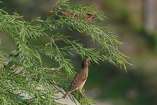 Чечевица Ходгсона, Carpodacus erythrinus roseata, Hodgson's Rosefinch   by Oleg Nomad