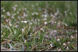 Draba verna  (2) | by Neira Magic'B