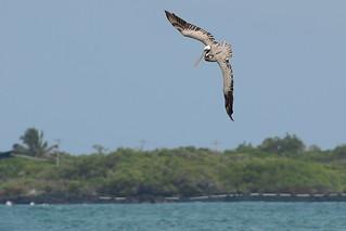 Американский бурый пеликан, Pelecanus occidentalis urinator, Brown Pelican | by Oleg Nomad
