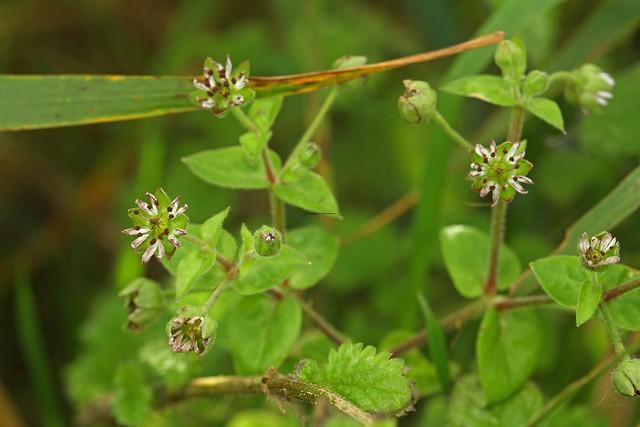 Microbotryum stellariae on Water Chickweed (Myosoton aquaticum) 10.10.17 (7)