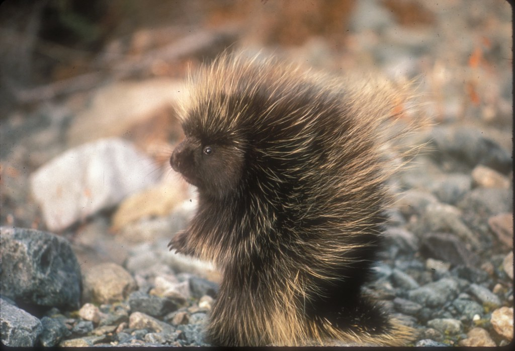 A baby porcupine or porcupette