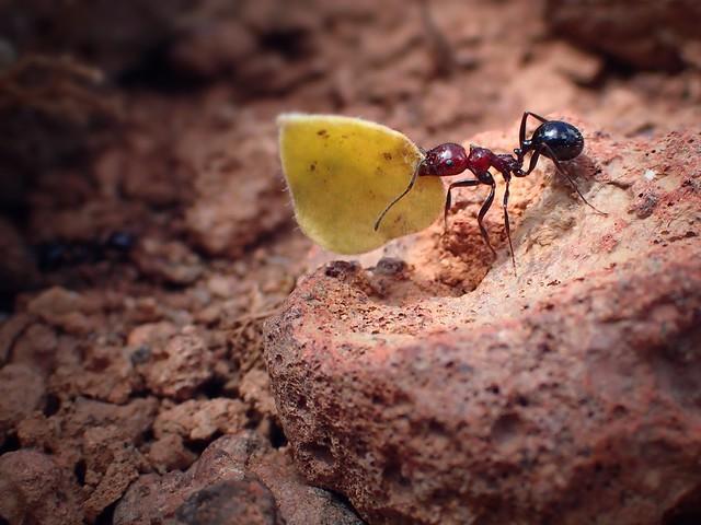 Harvester Ant @ work