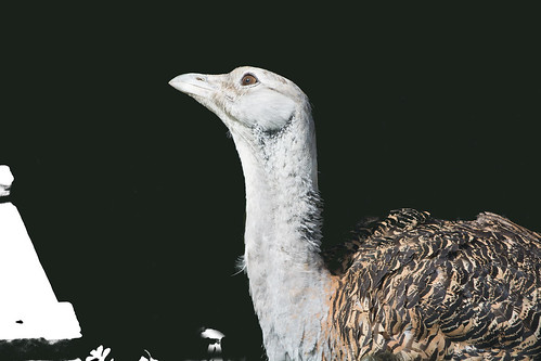 Great Bustard | by Sergey Yeliseev