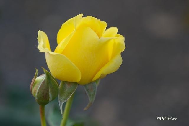 Une rose pour toi (7918)