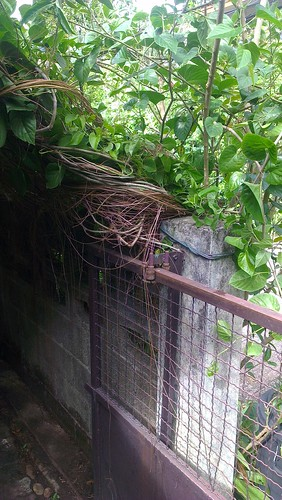 bali curtain (Cissus sicyoides) tied back with rope and the shoots | by kafka4prez