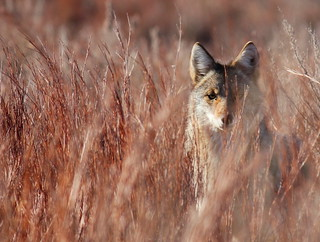 4th Place - Coyote in Little Bluestem in Red Hills | by USFWS Mountain Prairie