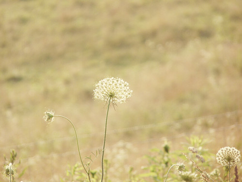 rural bokeh farm country meadow surreal pasture va dreamy wildflowers queenanneslace carrollcounty bokehlicious fencebokeh dugspur blueridgehighlands