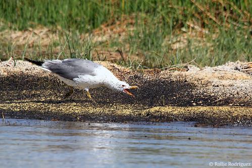 California Gull feeding on Brine Flies, Mono Lake, California