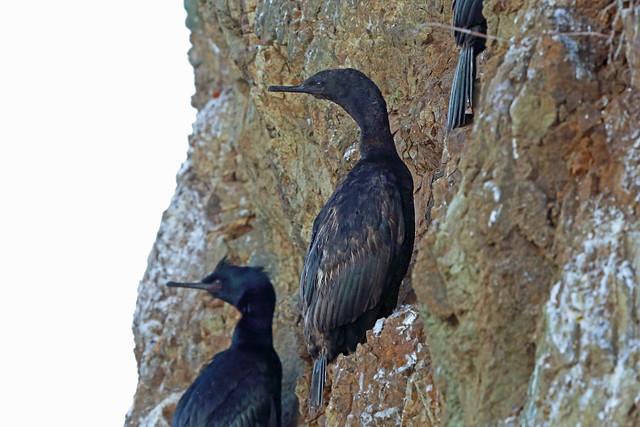 Pelagic Cormorant, Big Sur, Monterey, California