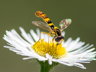 Hoverfly on a camomile | by Ivan Radic