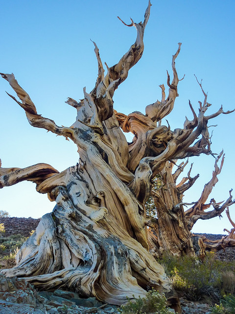 Impressive bristlecone pine on the Discovery Trail out of Schulman Grove