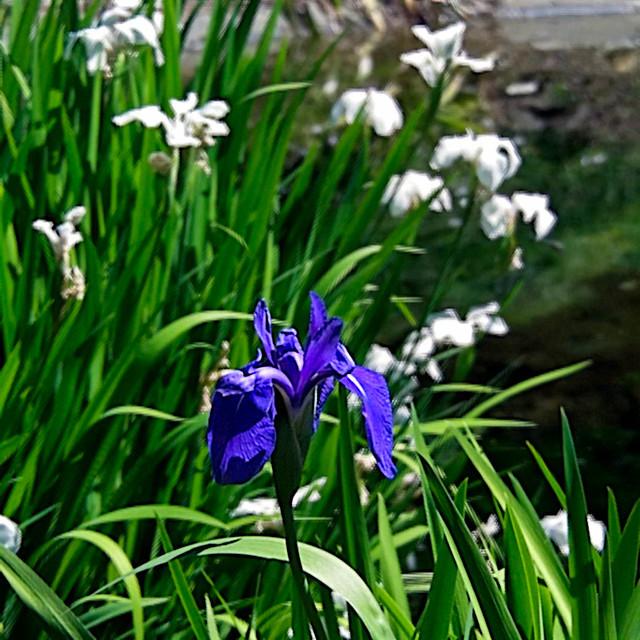 Lytro iris
