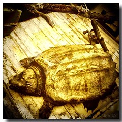 Mother's Day 2012 The Alligator Snapping Turtle Was Shot In The Head #mothersday #southerngothic #iphoneography #louisiana #americansouth #kathrynusher