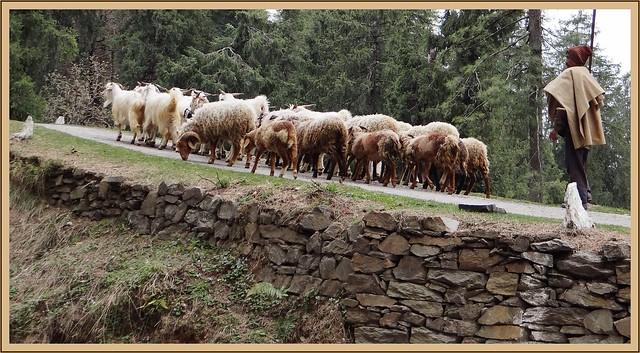 Gaddi shepherd and his flock on the Hatu slopes