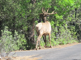 Grand Canyon: AN ELK. We nearly hit one of these last night.   by mormolyke