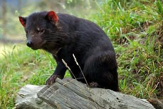 Tasmanian Devil, Tasmania, Australia | by Duncan Rawlinson - Duncan.co