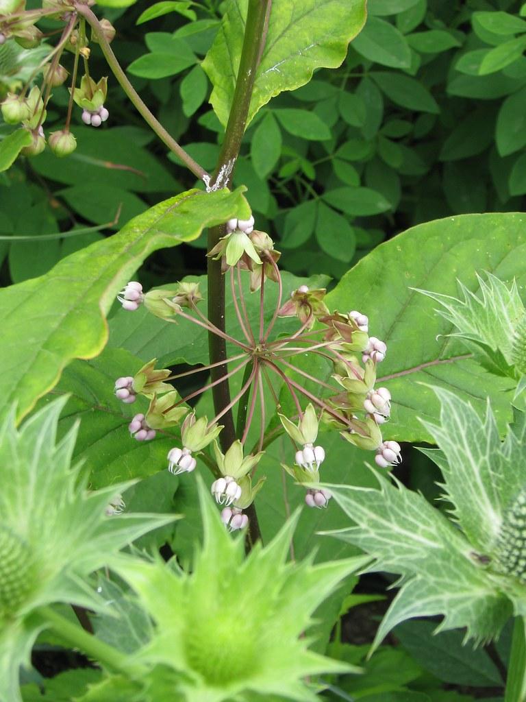 Poke Milkweed (Asclepias exaltata) | Kinnickinnic State