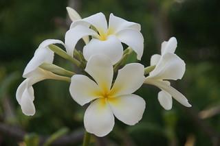 Belize: plumeria in the garden // Plumeria im Garten | by brongaeh