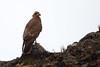 Mountain Caracara (Phalcoboenus megalopterus) by jrothdog