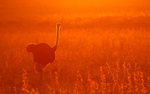 ostrich rietvleinaturereserve sunset canoneos70d tamronsp150600mmf563divcusda011
