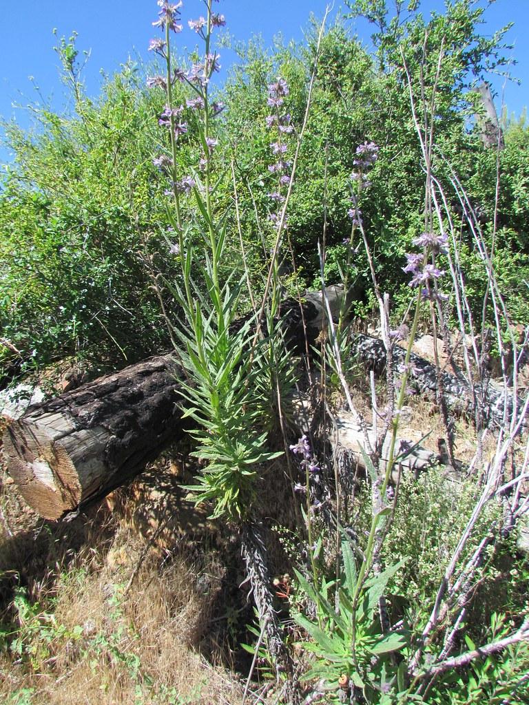 Boraginaceae  Eriodictyon parryi, Poodle-Dog Bush