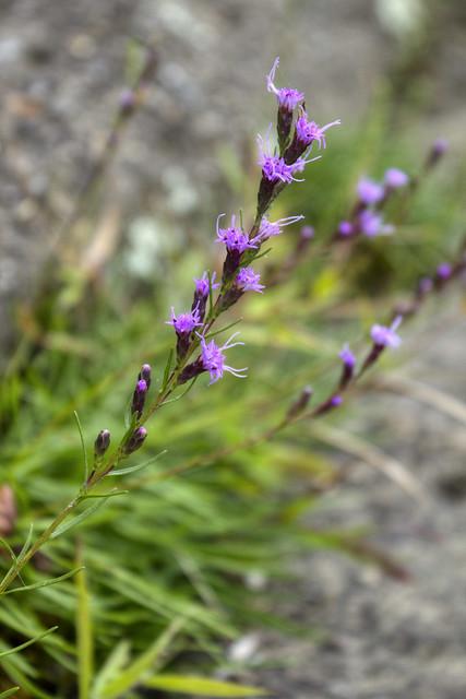 Liatris spicata, Cumberland County, Tennessee