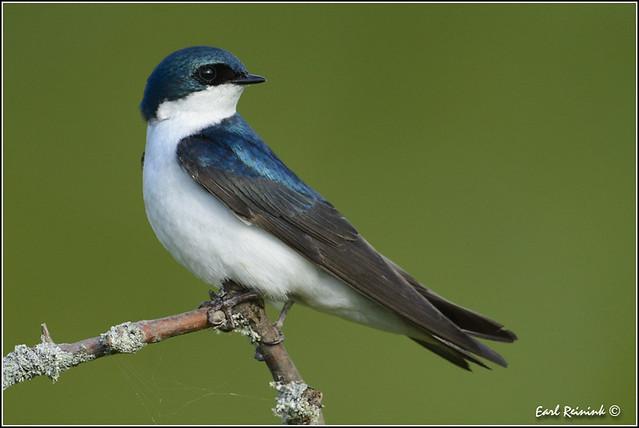 American Tree Swallow (20120624-0396)