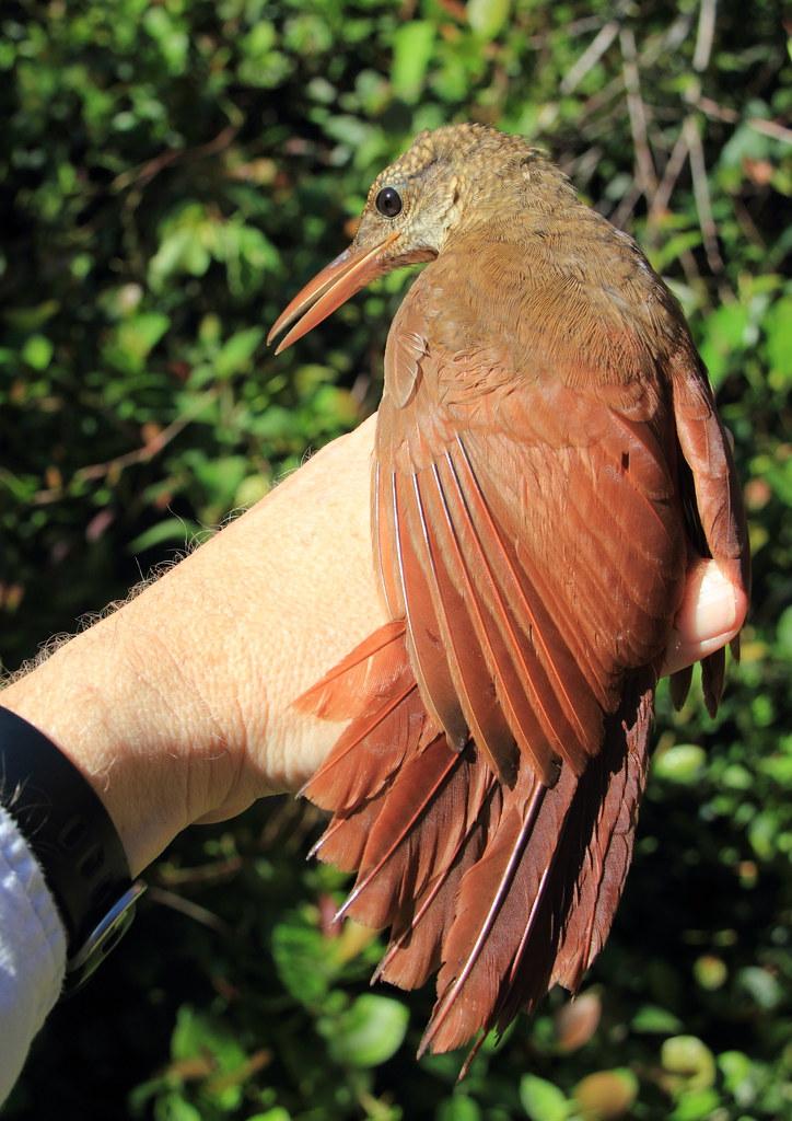 Amazonian Barred Woodcreeper - Dendrocolaptes certhia