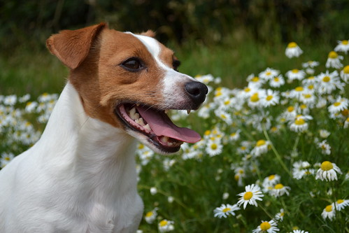 Jack Russell in springtime! | by UK Gibbon
