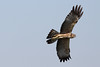 spotted harrier by Wildlife photos by Paul Donald