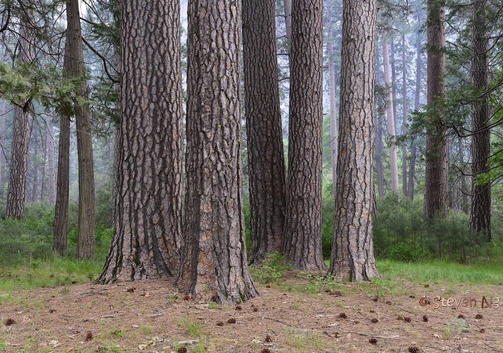 Ponderosa Pine tree and mist at Yosemite Valley | Yosemite ...