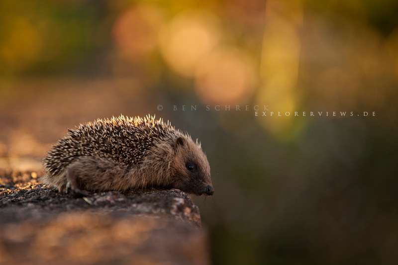 Hedgehog in summer