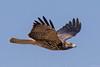 Swainson's Hawk by djbartling