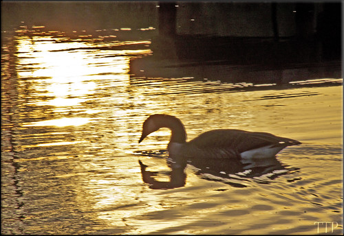 sunset water swim canon goose tamron