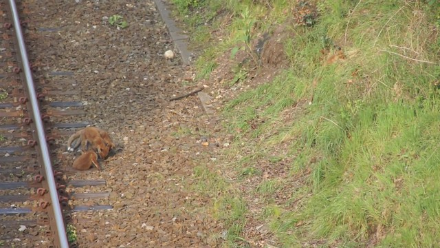Four foxes by the railway line at Talbot Woods, Bournemouth, Dorset