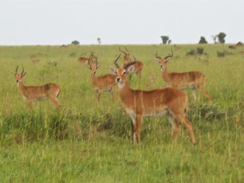 africa animals wildlife safari antelope uganda murchisonfallsnationalpark ugandankob