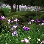 花菖蒲の園