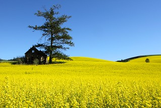 Rape Field near Culdesac, Idaho | by <DW>