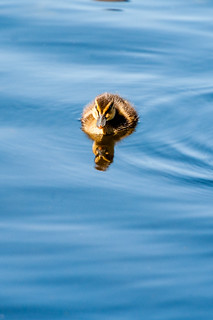 Reflected duckling