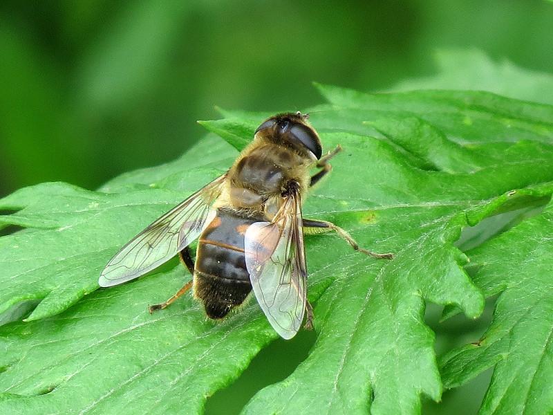 Hoverfly - Eristalis tenax