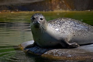 young seal / junger Seehund   by Missud