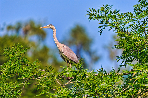 Heron on the tree | by Tambako the Jaguar