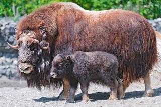 Musk ox and calf   by Tambako the Jaguar