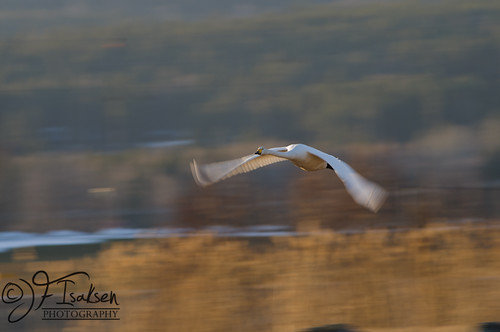 Whopper Swans 2011 (7 of 8) | by JFIsaksen