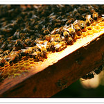 0187 蜂和小鎮 . 台灣 農業 人文写真 - 台南東山區的專業養蜂人 . Royal Jelly 蜂王乳 Propolis 蜂膠 . Honey Bees . Nature Life . The Beekeeper . Tainan Dungshan District . Professional Beekeeping in Taiwan