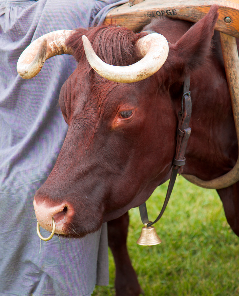 155 366 Bull With Septum Ring June 3 2012 Randi Rains