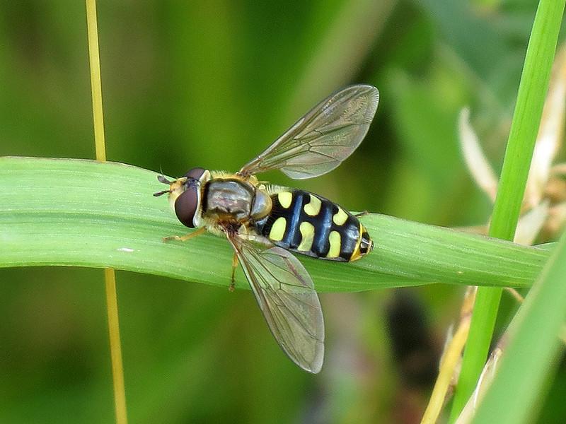 Hoverfly - Eupiodes luniger