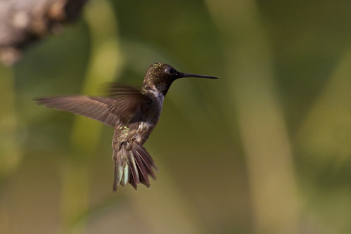 Black-chinned Hummingbird | by Stephen J Pollard (Loud Music Lover of Nature)