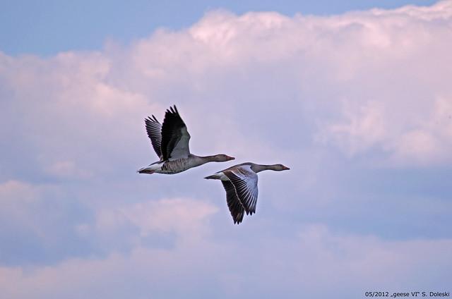 geese VI