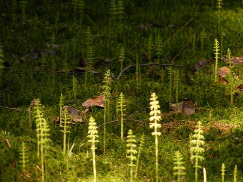 Metsäkorte (Equisetum sylvaticum)
